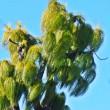 ダイオウショウの葉