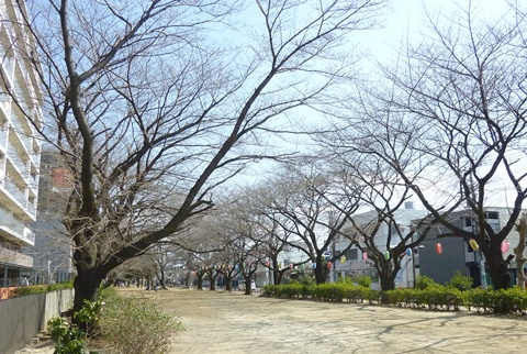 中央公園桜並木