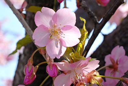 河津桜だと思われる桜