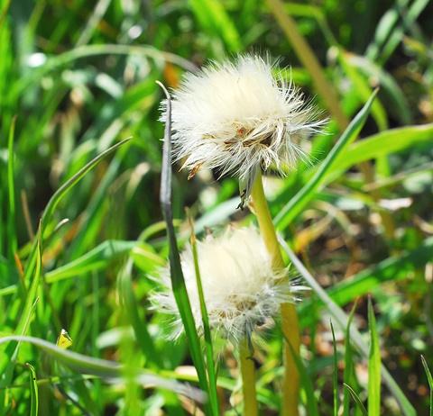 シロバナタンポポの綿毛