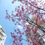 緋寒桜満開