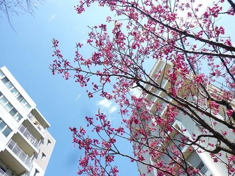 コンフォール上野台の緋寒桜