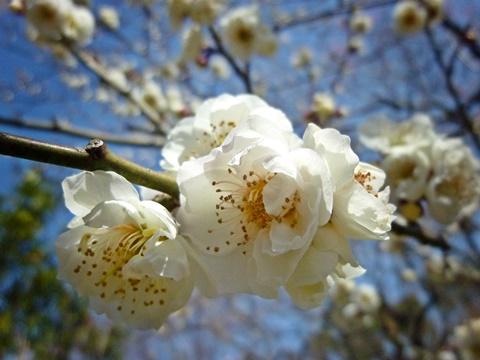 八重咲きの白梅