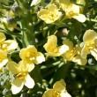 菜の花はブロッコリー
