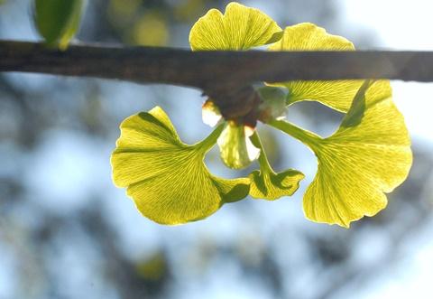 銀杏の新芽