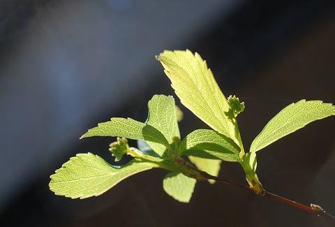 コデマリの新芽