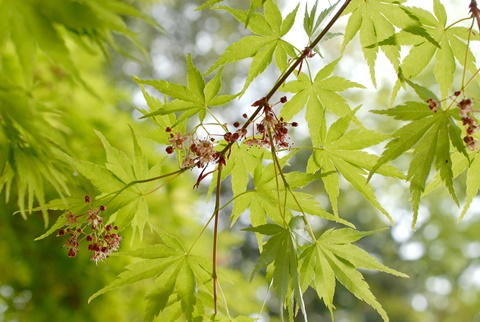 楓(イロハモミジ)の花