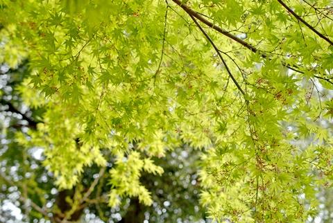 楓(イロハモミジ)の新緑