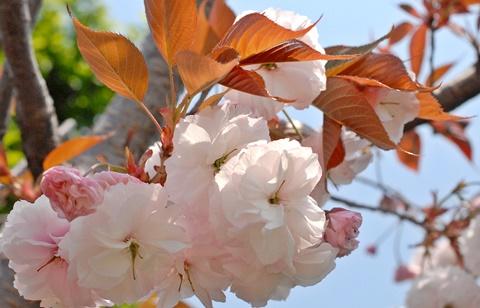 オニワカフェ八重桜