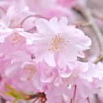 桜・桜・桜~神代植物公園