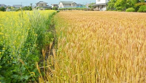 麦畑と菜の花畑