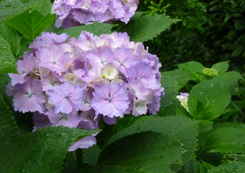 紫陽花 フリル