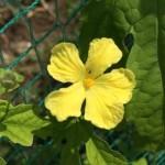 朝。ゴーヤの花がかわいい。