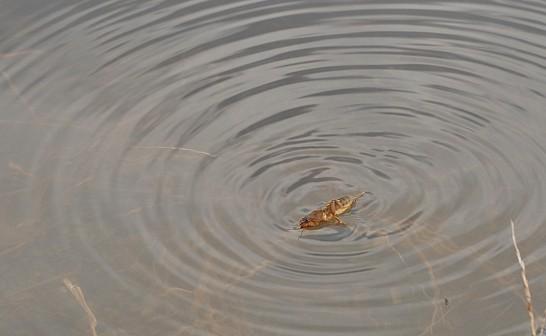オケラ泳ぎ