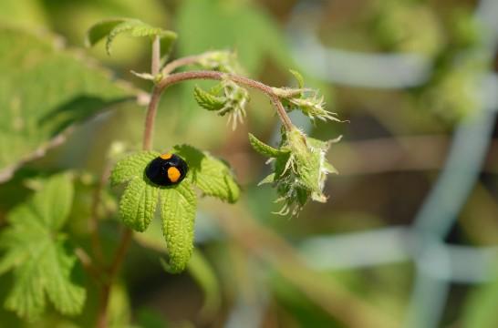 カナムグラの花とテントウムシ