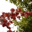 ハナミズキ紅葉曇り空