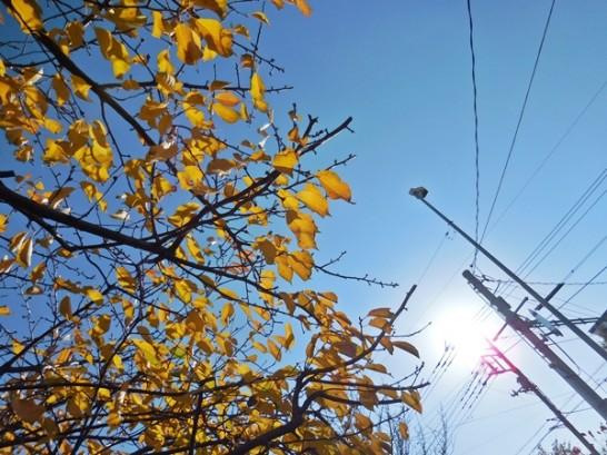 河津桜黄葉