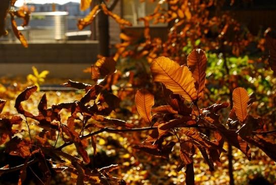 クヌギ紅葉