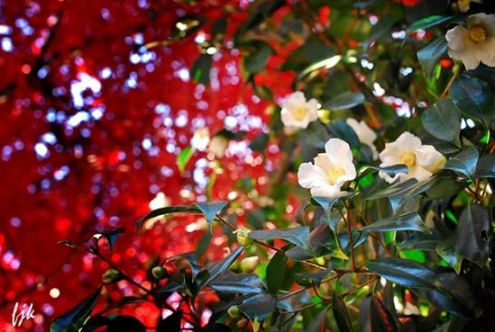 紅葉と侘助椿
