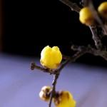 ロウバイの季節