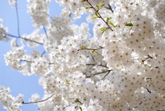 勝瀬原記念公園の大島桜