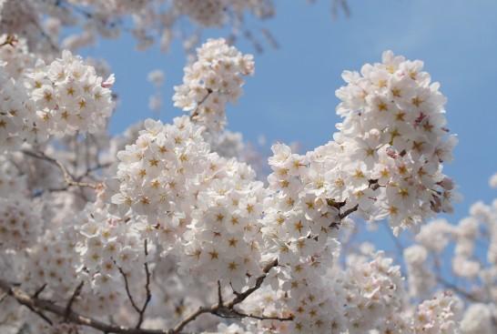 駒林 安楽寺の桜