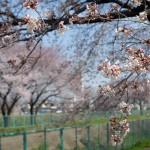 地元の桜 砂川堀あたり