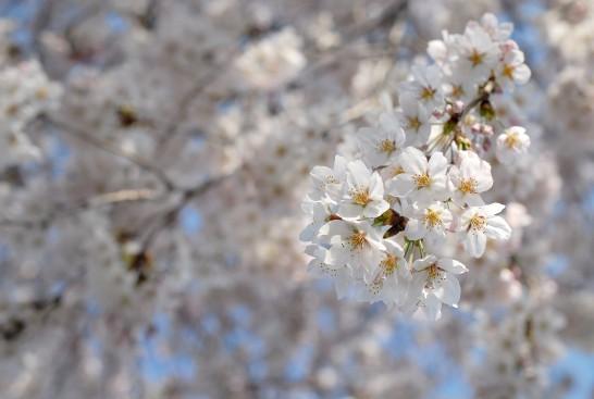 安楽寺の桜