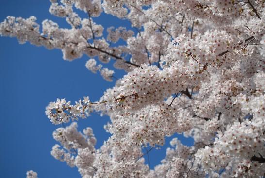 安楽寺の桜満開
