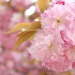 新宿御苑の八重桜たち