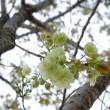 ウコンの桜