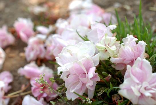 散ったウコン桜