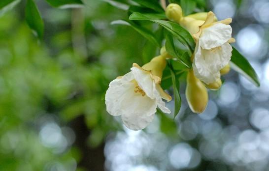 白い水晶柘榴の花