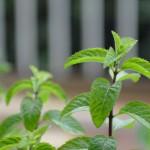鉢植えの和ハッカ「ほくと」