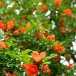 柘榴花盛り