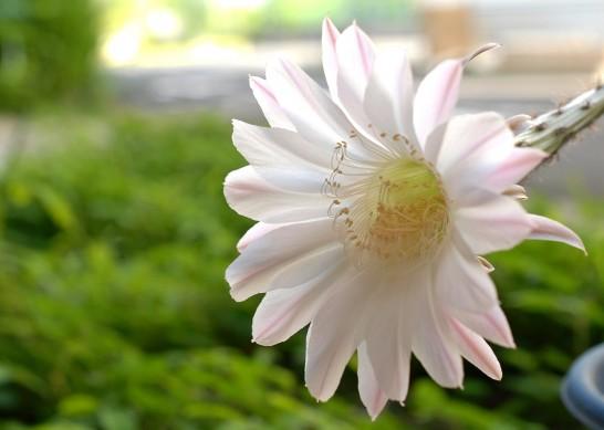 サボテンの花 朝
