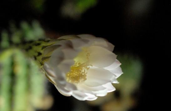 サボテンの花開いてきた