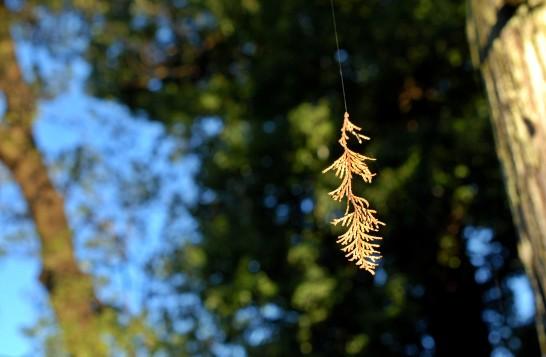 ヒノキの枯れ葉