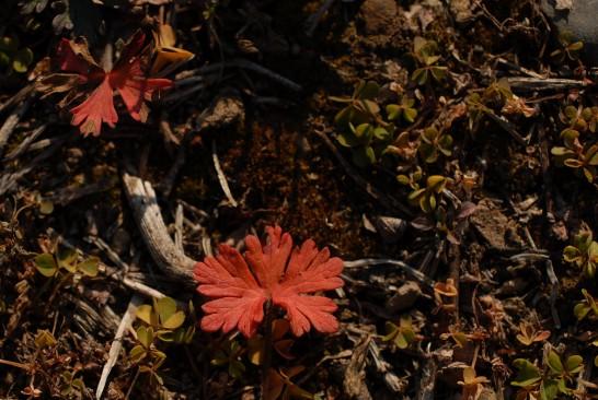 アメリカフウロ紅葉