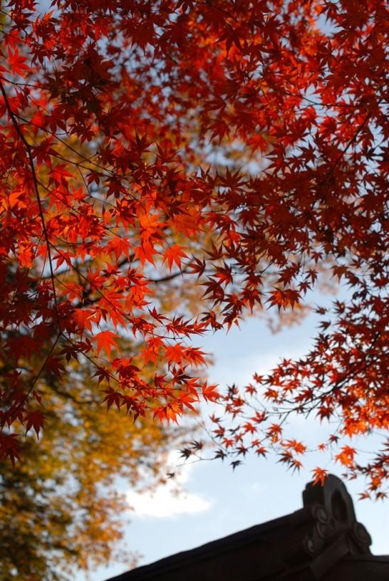 紅葉最高潮のモミジ
