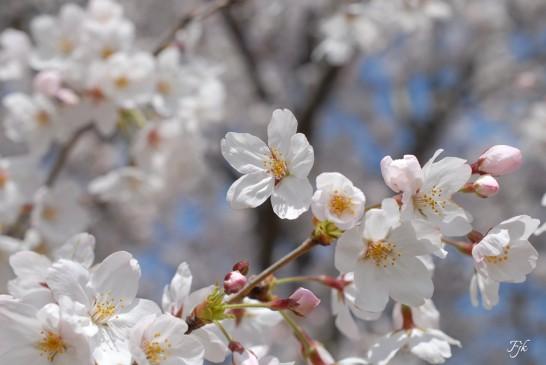 新河岸川の土手の桜