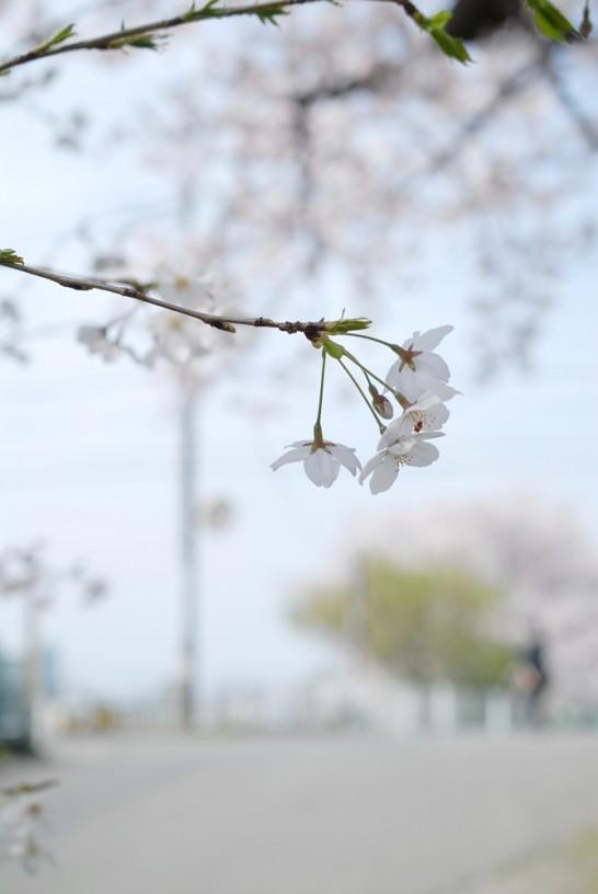 花影橋付近の桜