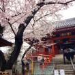 浄心寺の桜