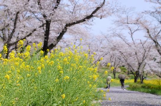 森林公園 花木園の桜
