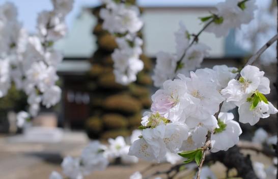 水天宮の花桃