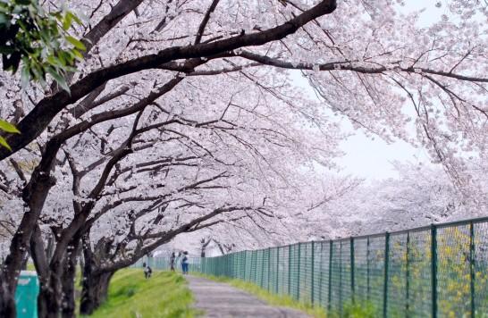 砂川堀の桜