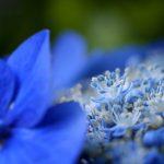 一番お気に入り、青い紫陽花
