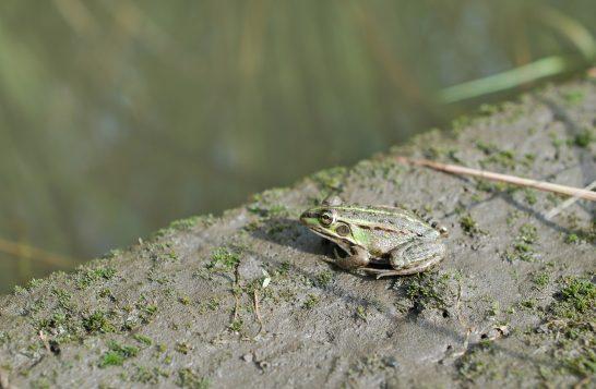 畦のカエル