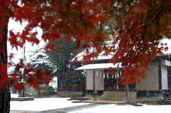 初雪とモミジ