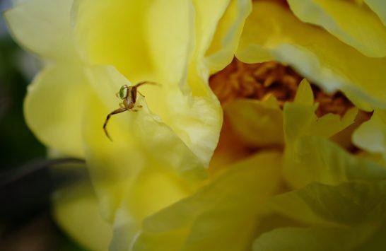 黄色の牡丹とハナグモ